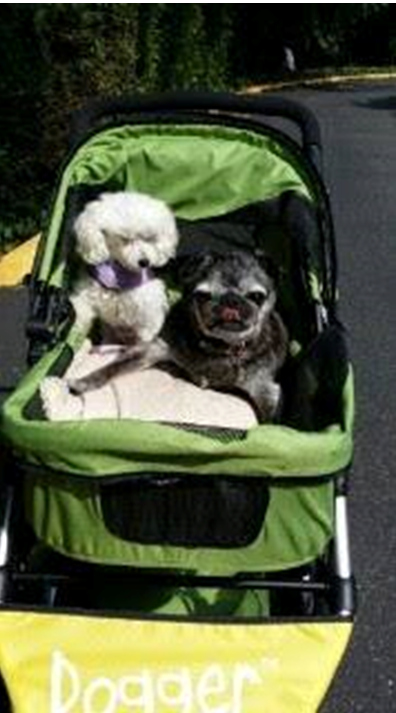pug and poodle lg